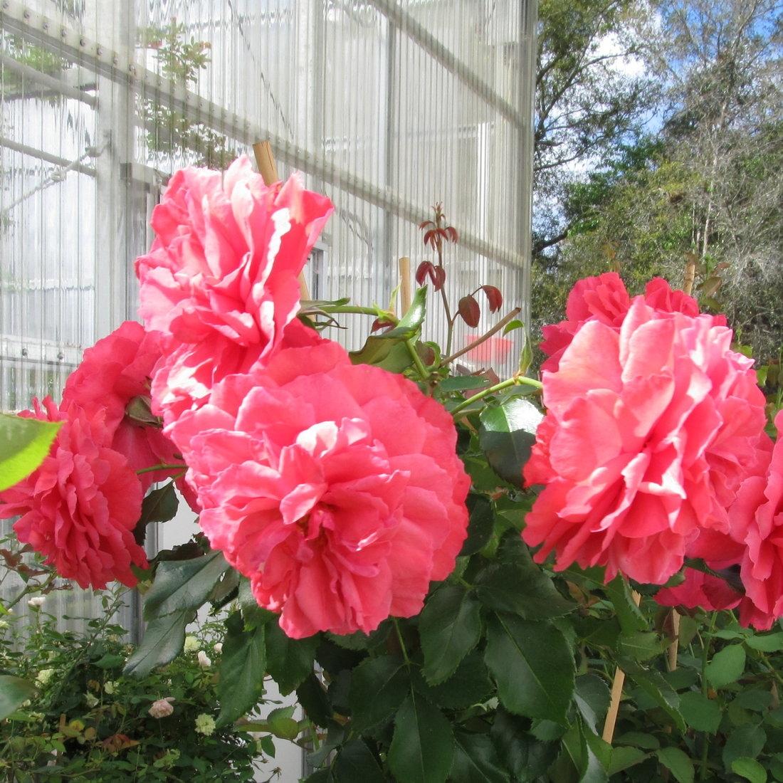 dark pink rosarium uetersen rose plants. Black Bedroom Furniture Sets. Home Design Ideas
