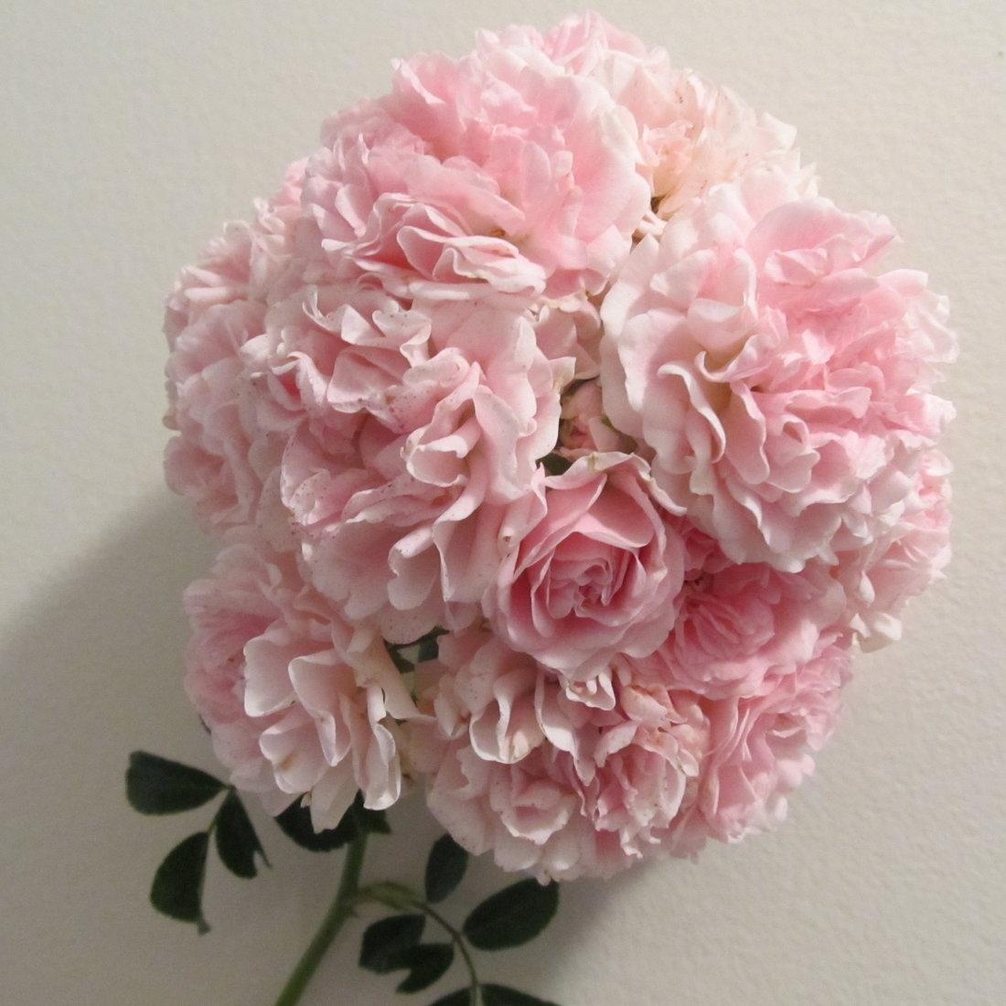Seven Sisters Roses: Pink Blend Seven Sisters Rose Plants