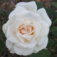 Sombreuil Large Flowered Climber roses