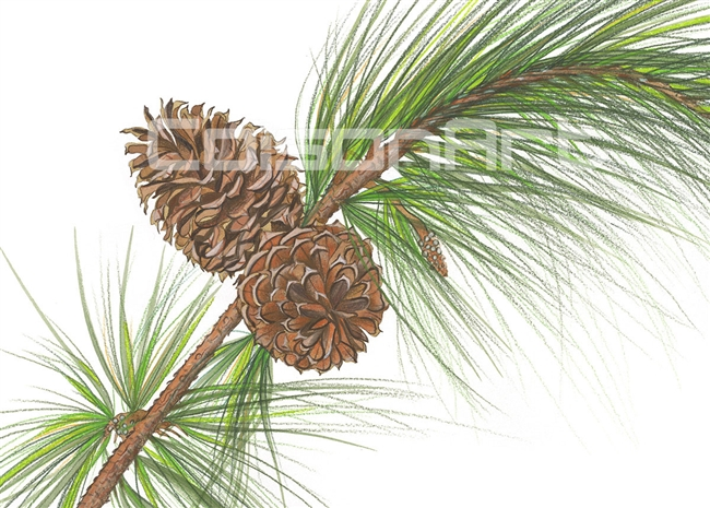 Pine Cone by Earle McKey