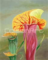 Pitcher Plants by Earle McKey
