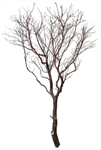 Natural Red Manzanita Tree, 72""