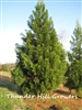 Cryptomeria Yoshino