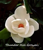 D.D. Blanchard Southern Magnolia