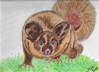 """Yellow Bellied Glider"" Zoo Print"