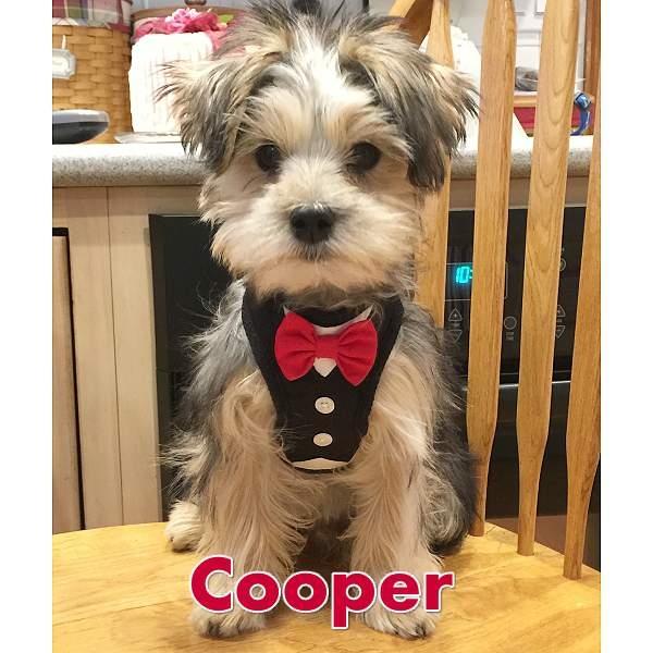 08710BK 7?1540987821 bowtie tuxedo small dog harness