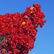Buy flowering trees for sale at the lowest prices at ty ty nursery crape myrtle trees mightylinksfo