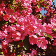 Buy flowering trees for sale at the lowest prices at ty ty nursery flowering crabapple trees mightylinksfo