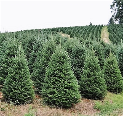 Fresh 6 ft Fraser Fir
