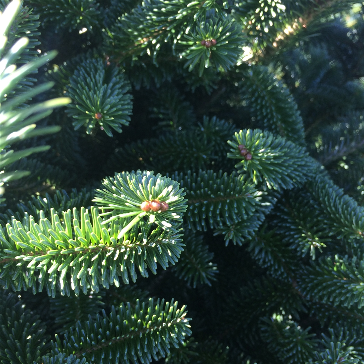 Buy A Real Christmas Tree Online Live Premium Grade Fraser Fir For