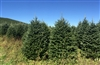 7 ft. Fraser Fir Christmas Tree