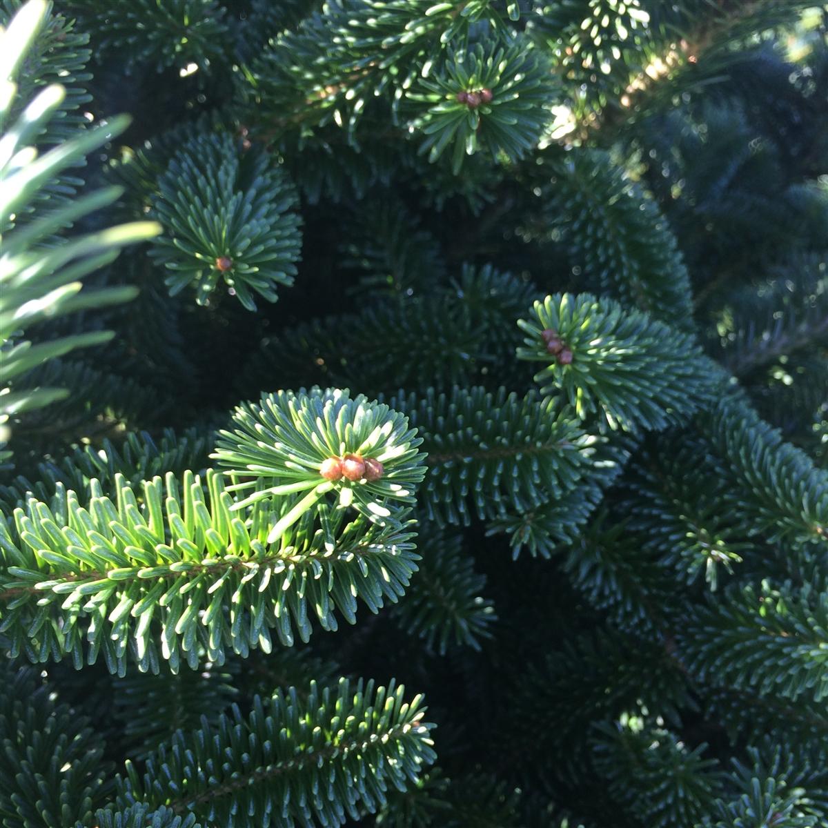 The Real Christmas Tree Farm: Buy A Real Christmas Tree Online