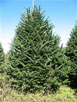 e7ef7b2bf9e83 Real Christmas Trees for Sale