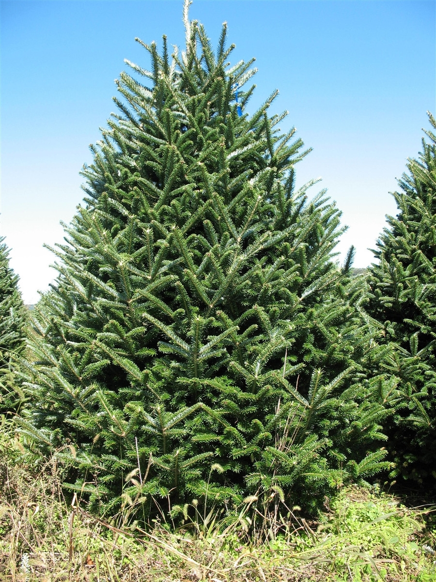 grand 75 8 ft fraser fir - 8 Ft Christmas Tree