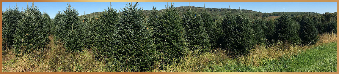 f95805b654265 Blue Ridge Christmas Trees was born from our love of fresh-cut