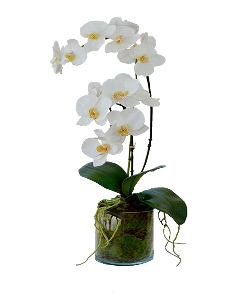 Phalaenopsis Orchid In 6 Glass Vase