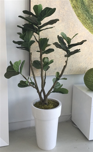 Fiddle Tree Arrangement with White Modern Planter