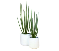 Frette Modern Pot with Snake Grass - WHITE 4 Feet