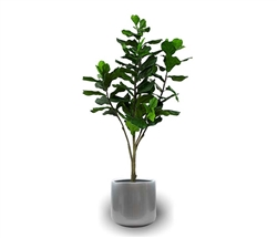 Frette Modern Pot with Fiddle Tree - SILVER 6 Feet