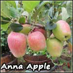 Apple Trees for Preppers