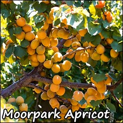 how to grow an apricot tree from a pit