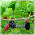 Mulberry Trees for Preppers