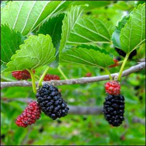 Pictures Of A Mulberry Tree