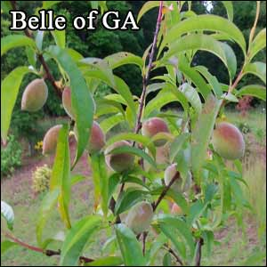 Belle of georgia peach