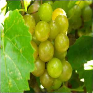 scuppernong vine