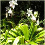 Crinum Bulbs for Medicine