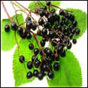 Elderberry Plants Medical Uses