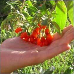 Goji Berry Buy Goji Berry Plants Medicinal Goji Berry Plant