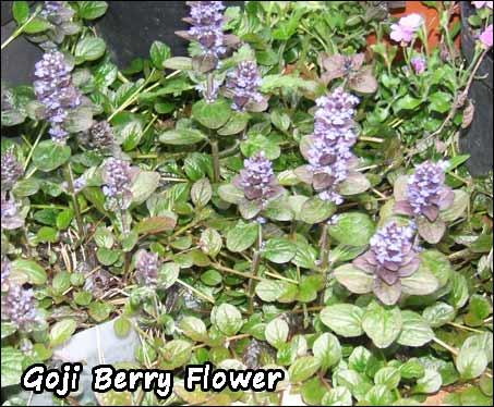 Goji Berry Buy Goji Berry Plants Medicinal Goji Berry Plant