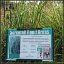 Horsetail Grass Medical Uses