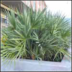 Medicinal Saw Palmetto Palm Trees
