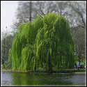 Weeping Willow Trees Medicinal Plant