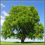 Beech Tree Medicine Use