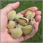 Prepper Gardens Almond Trees on Sale