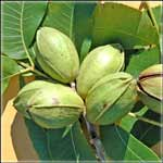 Prepper Gardens Pecan Tree on Sale