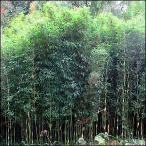 Bamboo Plant | Buy Bamboo Trees | Buy Bamboo Privacy Fence
