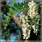 Black Locust Trees for Preppers