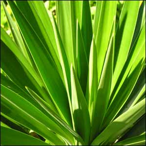 Yucca Plant Buy Yucca Plants Grow Yucca For Security