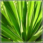 Yucca Plants for Sale at Low Prices