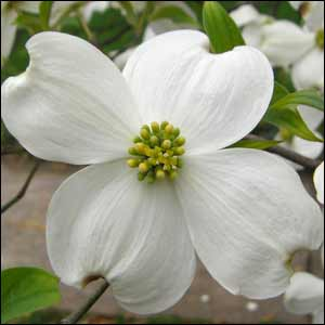 Dogwood Tree Buy Dogwood Trees Wildlife Food Plot Plants