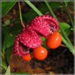 Prepper Gardens Strawberry Bush for Wildlife