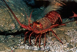 2 Day Lobster Scuba Dive to Outer Islands on Tues - Wed, March 17-18, 2020 at 2am