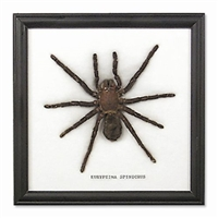 Single Large Spider Frame