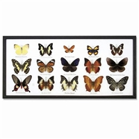 Butterfly Specimens Framed