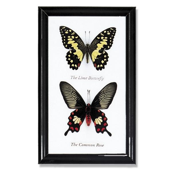 Butterfly Specimens Framed