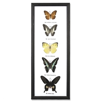 Five Butterfly Specimens Framed